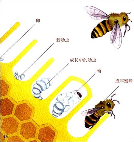 蜜蜂的发育过程经过那几个阶段?