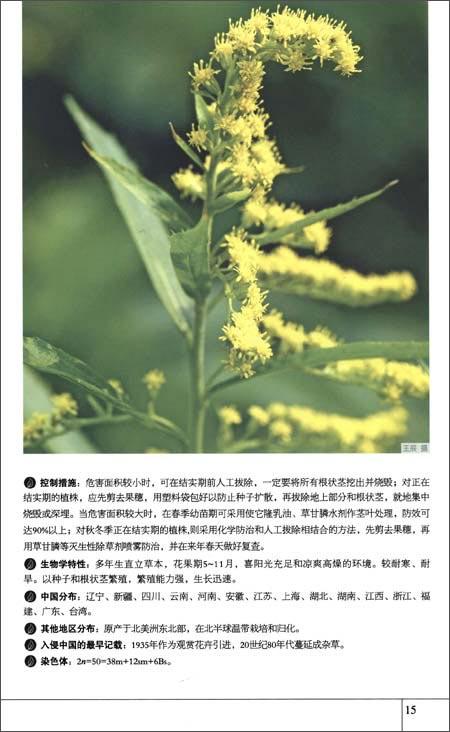 中文异名:普通豚草,艾叶破布草