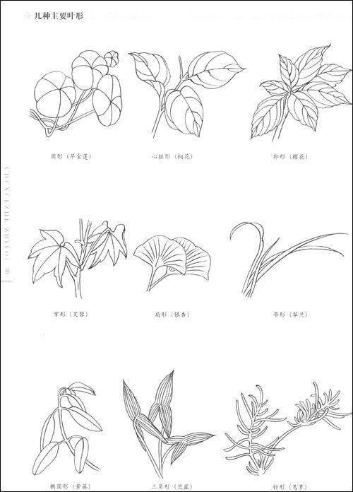 尖叶杜鹃花手绘