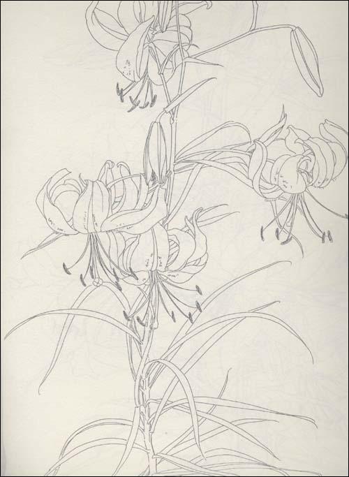 百合花素描画法图片大全 画法分解,花卉,手与脚的素描等图片