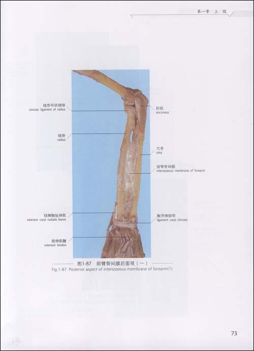 四肢应用解剖学实物图谱