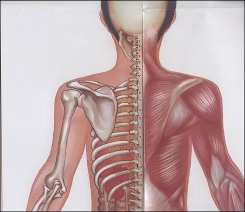 相关疾病 脊柱反射区挂图 附相关疾病脊柱反射区挂图使用说明1本