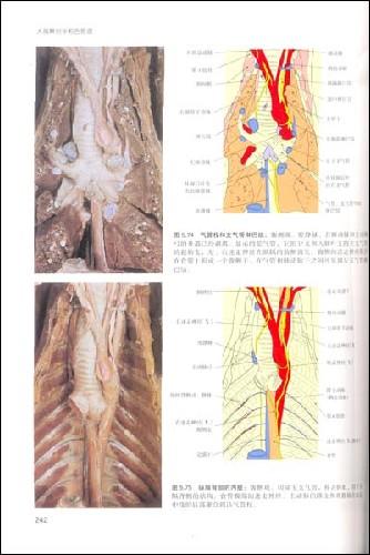 描述其内脏和骨骼结构的体表关系; 《犬猫解剖学:彩色图谱》多恩,等)