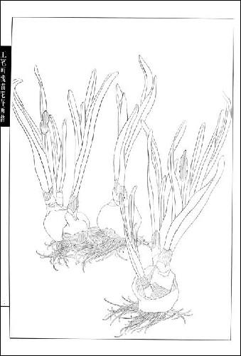 工笔画线描花卉画谱(水仙篇)