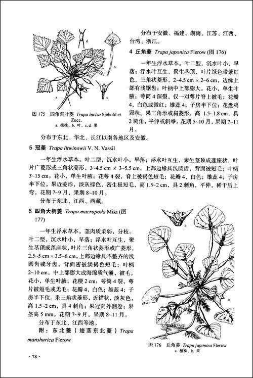 豆科植物手绘图