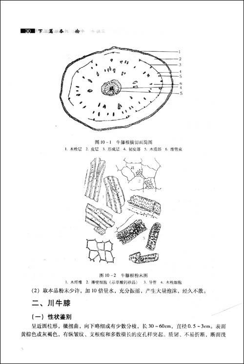 麻黄手绘图