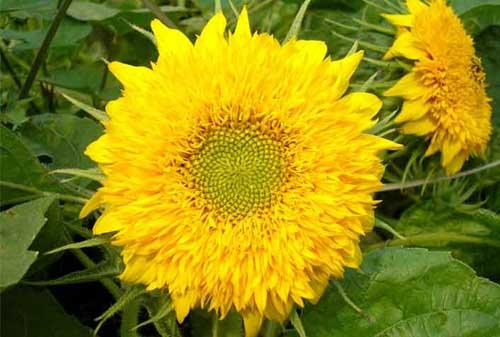 花仙子 矮向日葵 花种(四联装)a033